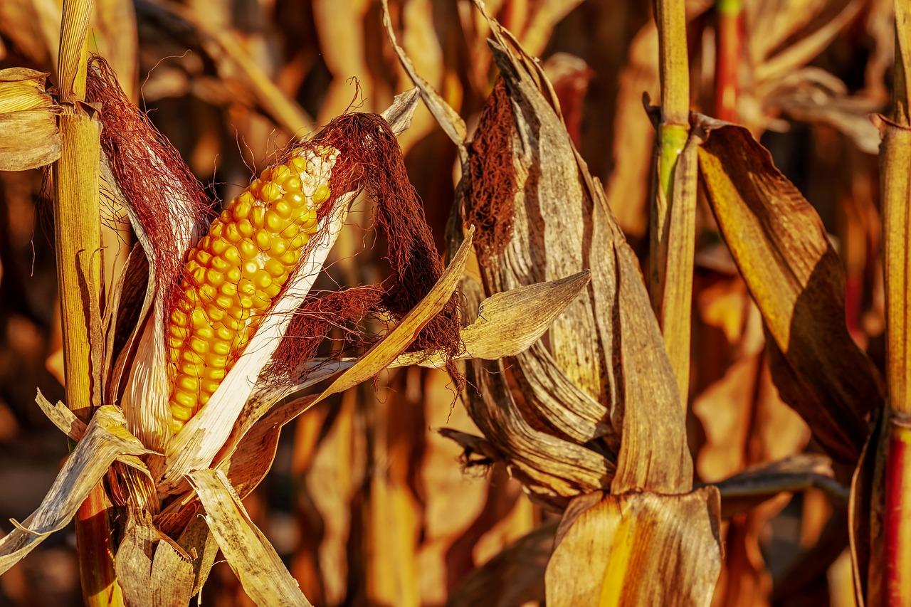 Kukurydza – niedoceniana roślina w rolnictwie