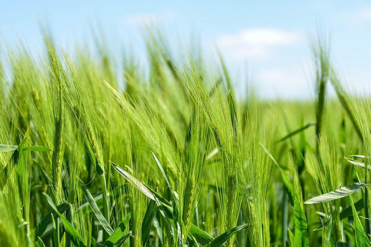 W 2050 roku potrzebne będzie o 50 proc. więcej żywności niż obecnie